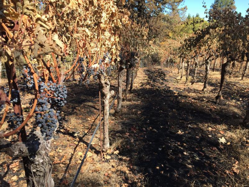 Forty percent of Segassia Vineyard's vines were damaged after wildfires raged through Napa Valley in 2017.