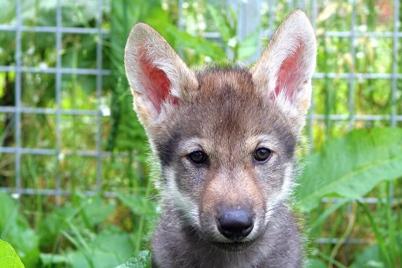 Scientists put several litters of wolf puppies through a standard battery of tests. Many pups, such as this one named Flea, wouldn't fetch a ball. But then something surprising happened.