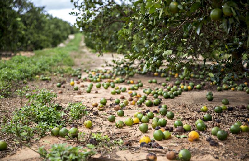 Fallen fruit sits on the ground below orange trees in Frostproof, Fla., U.S. Hurricane Irma destroyed almost half of the state's citrus crop.