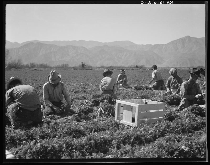 """Carrot pullers from Texas, Oklahoma, Missouri, Arkansas and Mexico. """"We come from all states and we can't make a dollar in this field noways. [sic] Working from seven in the morning until twelve noon, we earn an average of thirty-five cents."""" California,"""