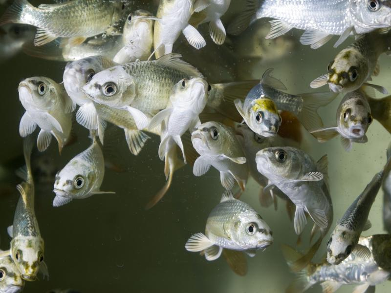 If they're able to swim to hot water, carp will survive infection with a type of herpes virus.
