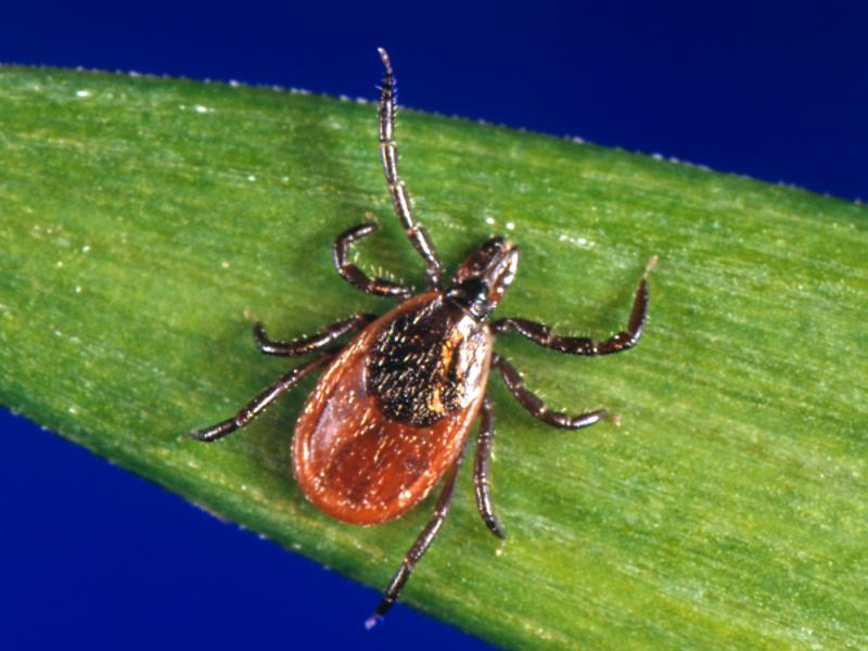 Black-legged ticks carrying the bacterium that causes Lyme have been found in the coastal chaparrals surrounding California beaches.