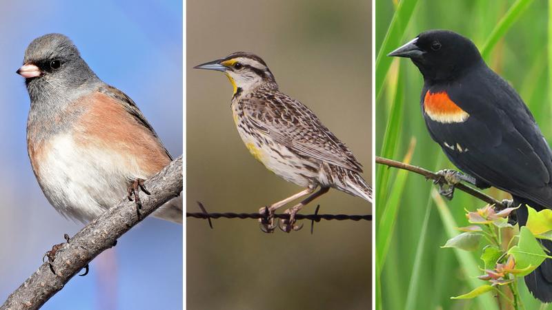 (Left to right) Dark-eyed Junco, Eastern Meadowlark, Red-winged Blackbird
