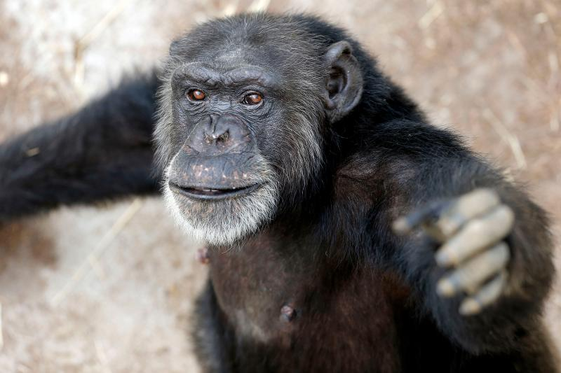 Since early 2013, 110 chimpanzees have been retired to Chimp Haven sanctuary in Keithville, La., from the New Iberia Research Center in Lafayette, La. That's the largest group of government-owned chimps ever sent to sanctuary. Sabrina, seen here, arrived