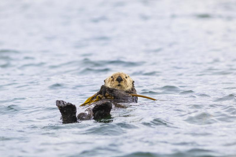 A sea otter hangs onto kelp off the coast of Vancouver Island, British Columbia, Canada.