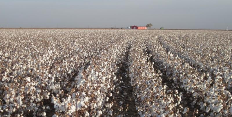 The Zady clothing line sources cotton from the Texas Organic Cotton Cooperative in Lubbock, Texas.