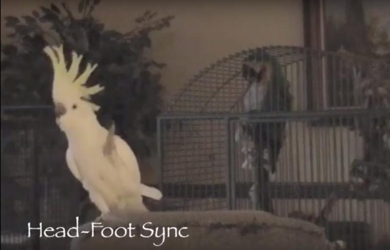 Snowball, the dancing cockatoo.