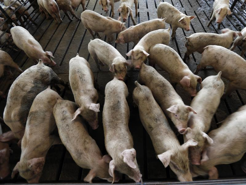 Young hogs are seen at a farm in Farmville, N.C. From farmers to meat-storage facilities, to auto parts manufacturers, the impact of tariffs is spreading.