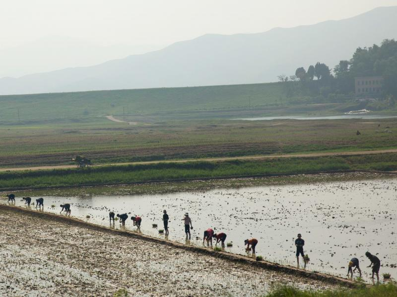 North Korean farmers work in a rice paddy outside the capital Pyongyang.