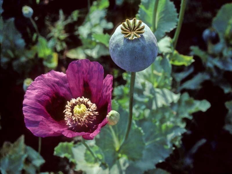 Opium poppies in Turkey