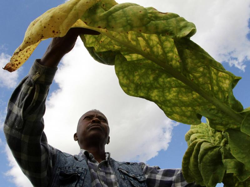 A farm owner inspects his tobacco crop in the sun. While Zimbabwe's tobacco production has made something of a turnaround lately, journalist Peta Thornycroft says much of the country's troubles since 2000 have been tied to failures in its capital-intensiv
