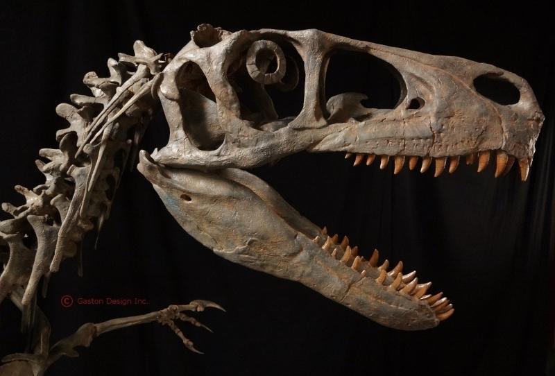Utahraptor skull reconstruction by Rob Gaston of Gaston Design incorporating some material from the Utahraptor megablock.