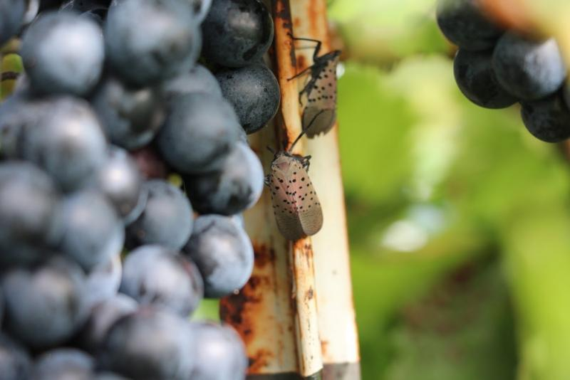 An adult spotted lanternfly searches for tasty grapevines at Vynecrest Vineyards and Winery, near Allentown, Pa.