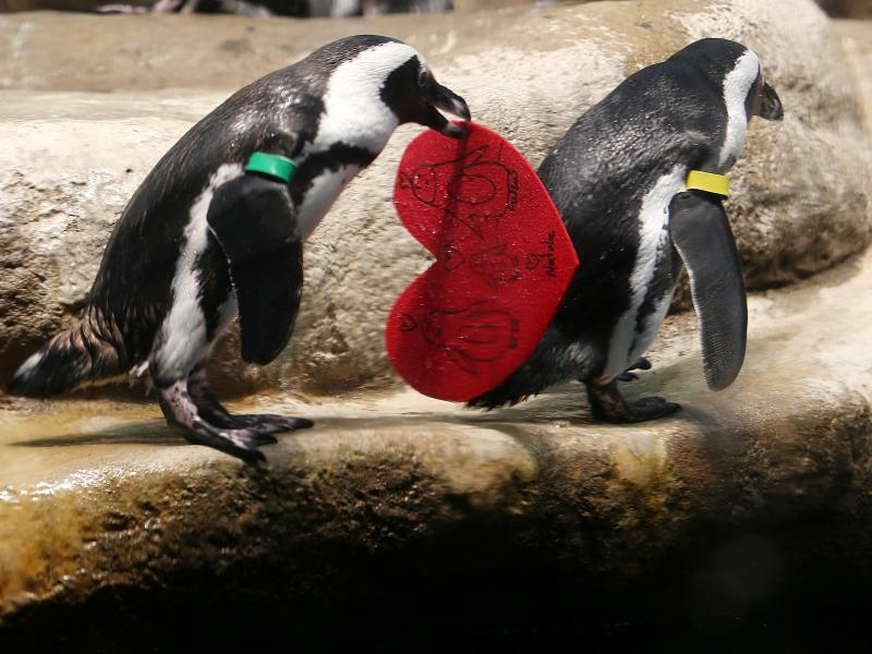 An African penguin holds a Valentine's Day card at the California Academy of Sciences. The birds use the love tokens to line their nests and encourage breeding.
