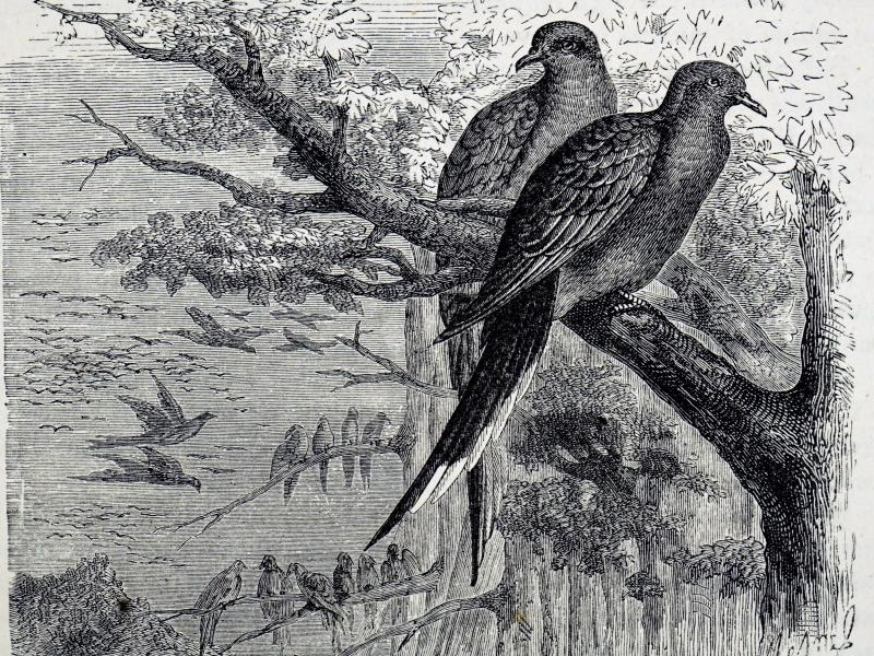 An engraving dating from the 19th century depicts passenger pigeons, once one of the most common birds in North America but now extinct because of overhunting and deforestation.