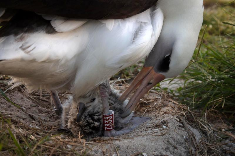 Wisdom, a mōlī or Laysan albatross, and the world's oldest known banded wild bird, hatched a new chick at Midway Atoll on Feb. 1.
