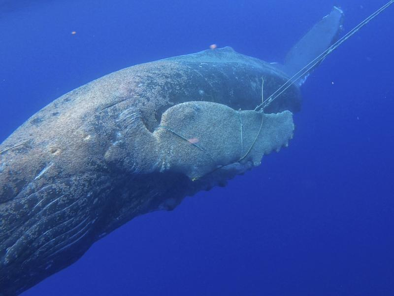 In this photo released by NOAA's Marine Mammal Health and Stranding Response Program is an entangled subadult humpback whale off the Hawaiian island of Maui, on Tuesday. A young humpback whale has been freed of about 100 feet of line entangled in its mout