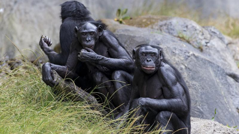 Five bonobos at the San Diego Zoo have been vaccinated against COVID-19.