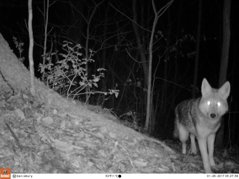 Rowan County coyote is caught in a camera trap