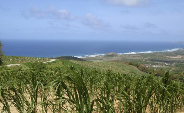 The sugar cane fields of Barbados.