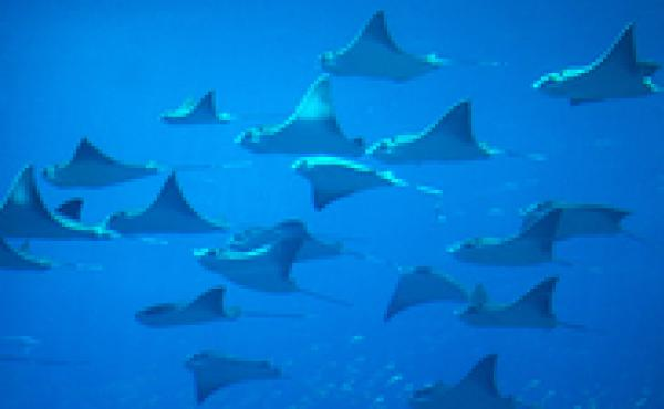 Each year, 6 to 8 percent of the global population of sharks and rays gets caught, scientists say. The fish can't reproduce fast enough to keep pace