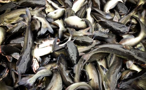 Freshly caught catfish wriggle in large nets in Doddsville, Miss.