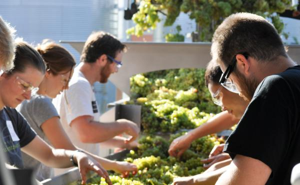 Students sort grapes at the University of California, Davis research winery. The winery is experimenting with various methods to conserve water. The hope is that commercial wineries will follow suit.