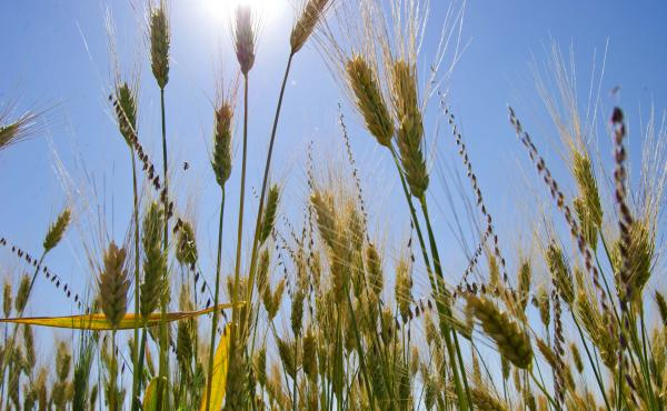 About 40 years ago wheat breeders introduced new varieties of wheat that helped farmers increase their grain yields. But scientists say those varieties aren't linked to the rise in celiac disease.