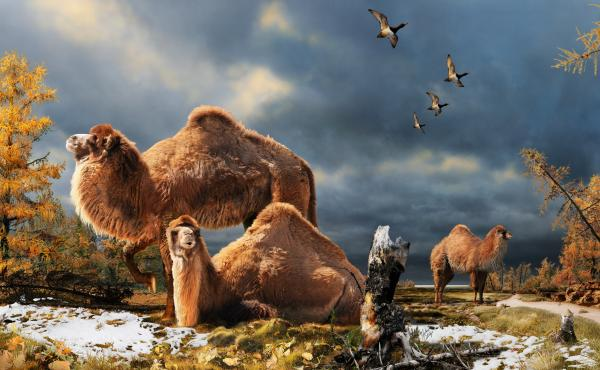 Illustration of the High Arctic camel on Ellesmere Island during the Pliocene warm period, aboutthree-and-a-half million years ago. The camels lived in a boreal-type forest. The habitat includeslarch trees and the depiction is based on records of plant fo