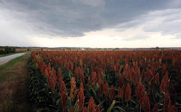 A test field of sorghum outside Manhattan, Kan., planted by Kansas State University.