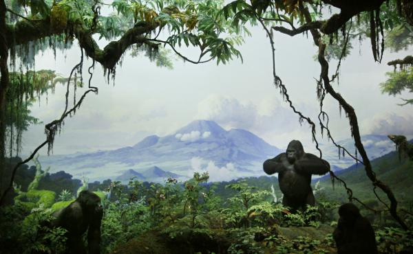 Mountain Gorillas, one of the first dioramas on which Fred Scherer apprenticed, completed in 1936.