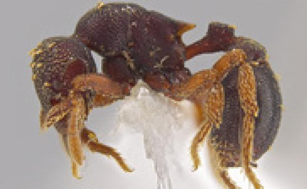 A side view of the new ant species Eurhopalothrix zipacna. Mounting glue and paper appear beneath the ant, one of 33 new species discovered in Central America by Jack Longino, a biologist at the University of Utah.