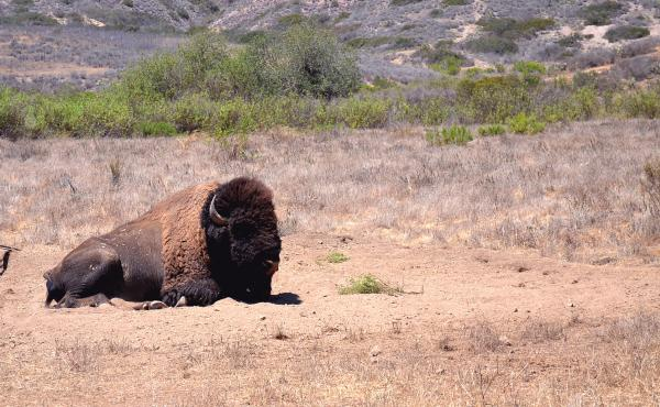Bison have been roaming the Santa Catalina Island since the 1920s. At one time they numbered more than 600.