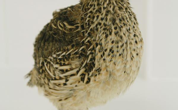 Researchers wanted to know if Japanese quail were aware of the colors and patterns on their eggs.