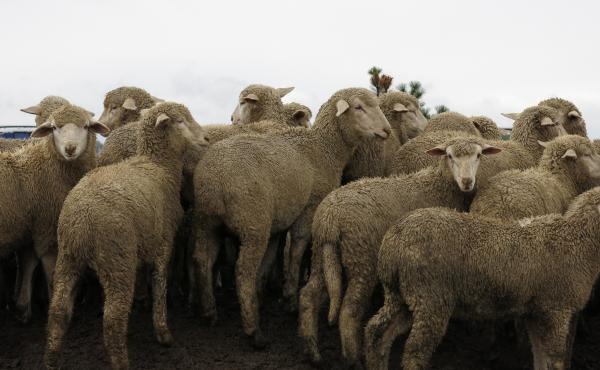 The changing landscape of of agriculture is leaving many sheep farms in the dust. Farms are larger and technology makes crops more economically attractive and sheep herds less.