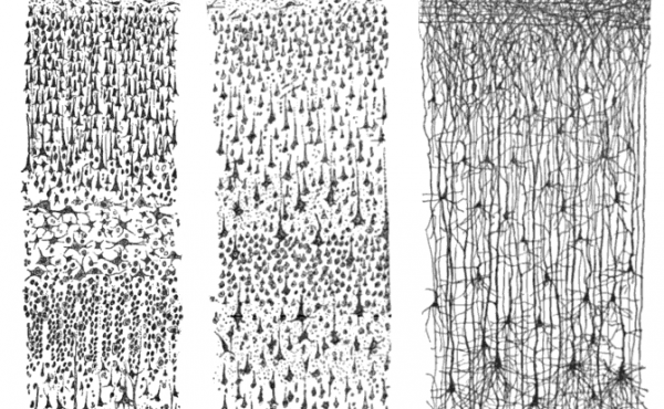 These drawings by Santiago Ramon y Cajal, published in 1899, show cortex neurons.