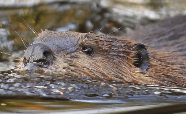 Everyone knows beavers can swim, but at one point they also soared through the skies in Idaho thanks to a novel relocation method involving parachutes.
