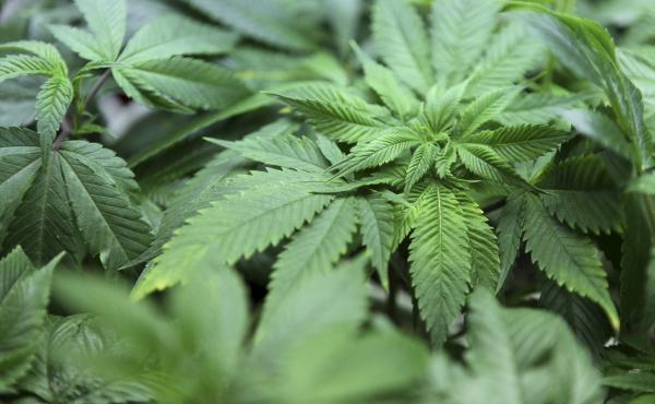 A young cannabis plant at grows at The Joint Cooperative in Seattle, Washington Jan. 27.