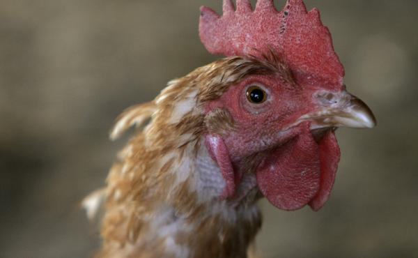 A farm in Iowa plans to slaughter more than five million chickens in response to an outbreak of bird flu.