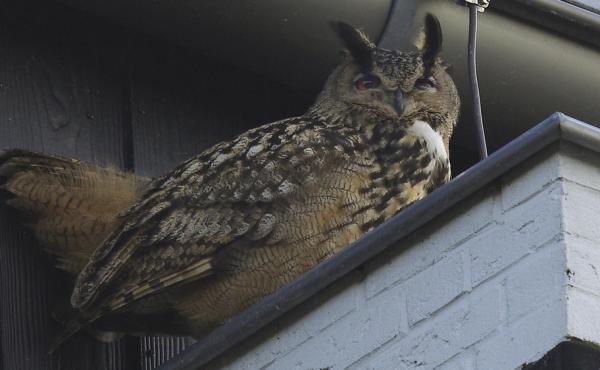 A falconer has captured an aggressive eagle owl that terrorized a Dutch town by swooping out of the sky and sinking its talons into residents' heads.