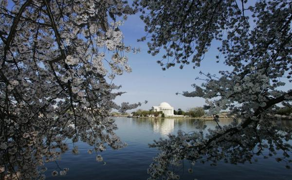 Cherry blossoms line the Tidal Basin in Washington near the Jefferson Memorial during the National Cherry Blossom Festival in 2006.