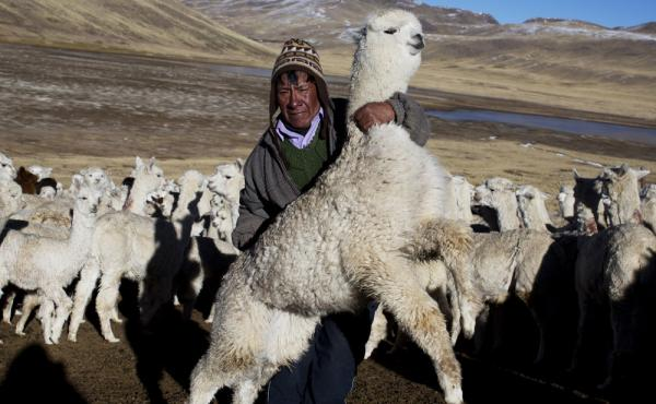 Agustin Mayta Condori shows a sick alpaca, which he predicted would die the next day because of subfreezing temperatures in the southern Andes in Peru. Thousands of alpacas have died in the region.