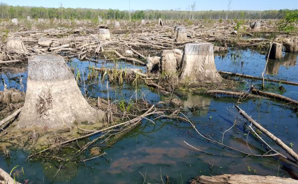 Wetland forest clear-cut by the Roanoke river, just south of Windsor, NC.  Likely logged in Winter, 2015.