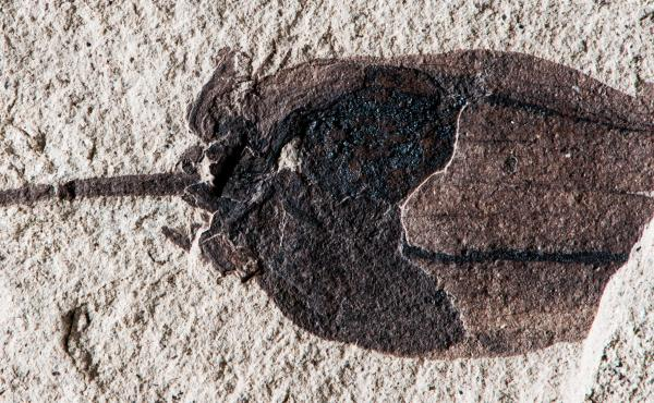 This 52-million-year-old fossilized tomatillo was found in Patagonia, Argentina, shedding light on the origin of nightshade plants. In this specimen, the slender stalk is preserved, and the former papery and lobed husk is broken at top to reveal the large