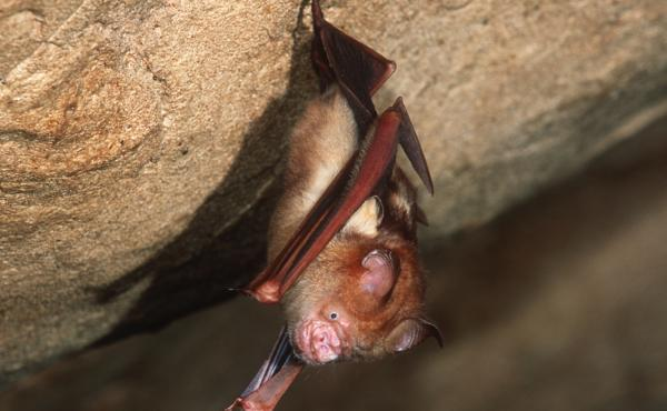 This Bornean horseshoe bat and other bat species can harbor coronaviruses. The nonprofit group EcoHealth Alliance had U.S. government funding for an ongoing research project in China on bats and coronaviruses — until the money was cut on April 24.