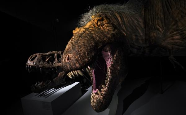 A model of a feathered Tyrannosaurus rex at the American Museum of Natural History in 2019 in New York City. All Things Considered is making amends for its lack of dinosaur coverage.