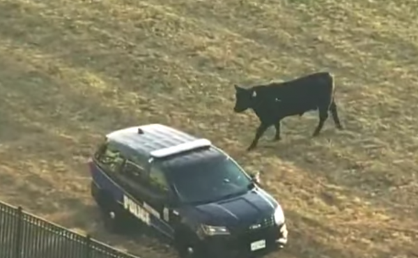 A 1,600-pound bull ventured on a short-lived quest for freedom Wednesday in West Baltimore, spending about three hours on the loose before finally succumbing to tranquilizers and being put back into the trailer whence he came.