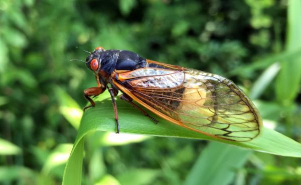 A small number of cicadas become infected by a fungus called Massospora, which causes the production of cathinone — an amphetamine.