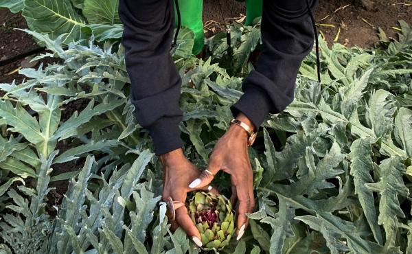 Princess Haley, co-founder of a group called Appetite for Change, picks an artichoke to go into supply boxes of fresh produce. The group's mission is to improve the diet of families in Minneapolis.