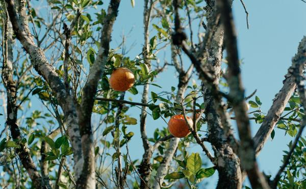 Oranges growing on a tree.
